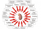 Factors Affecting the Adrenal Glands