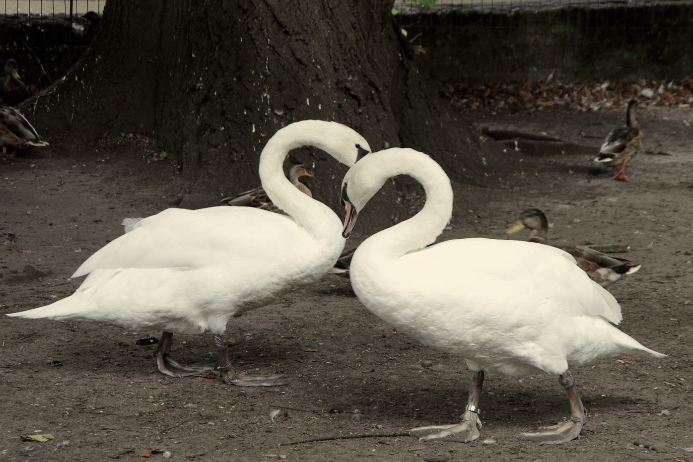 Two Swans Form a Heart - photo by Joel Dauteuil